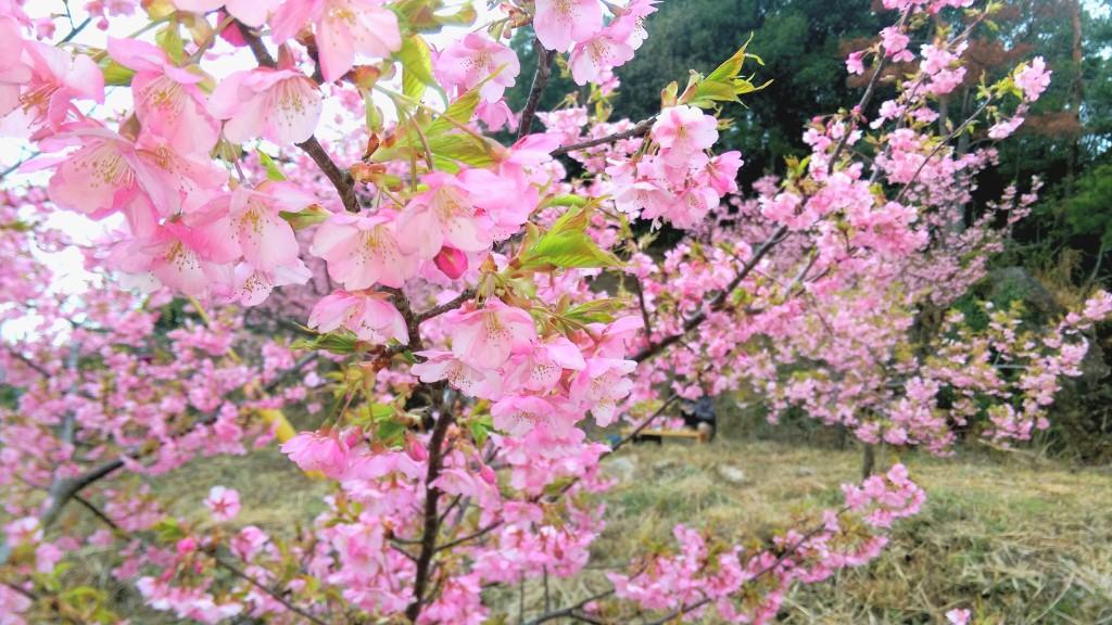 河津桜 4
