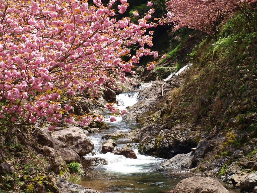 一心寺 桜2