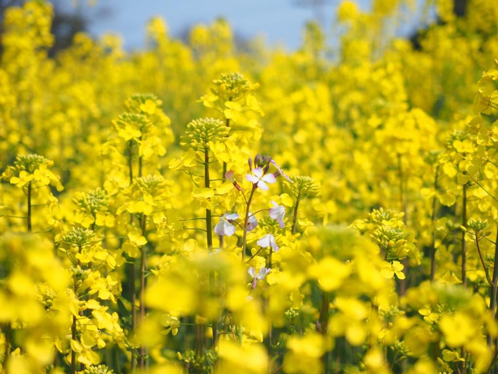 菜の花フェス 2