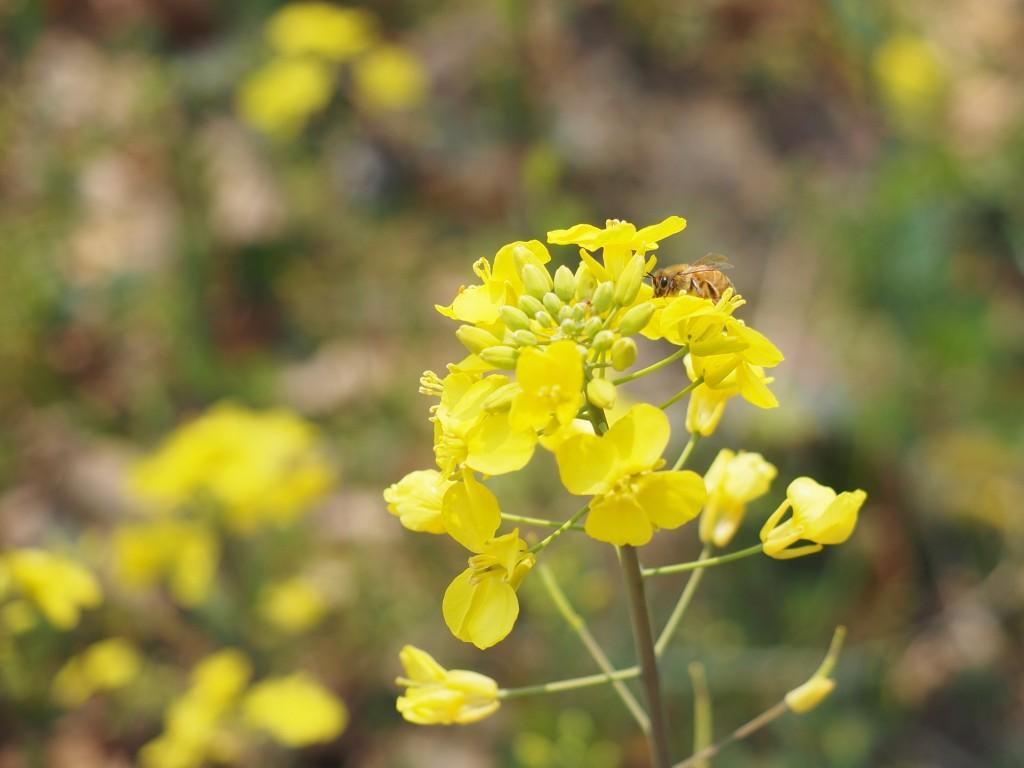 菜の花フェス 3