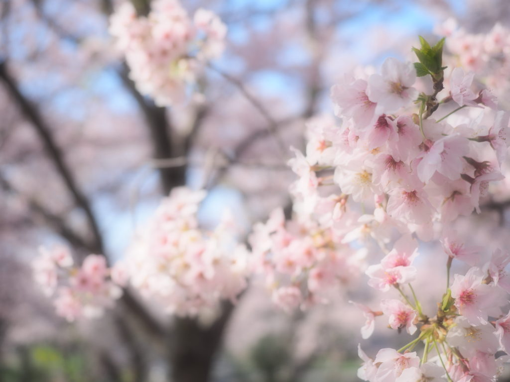 2017 桜6