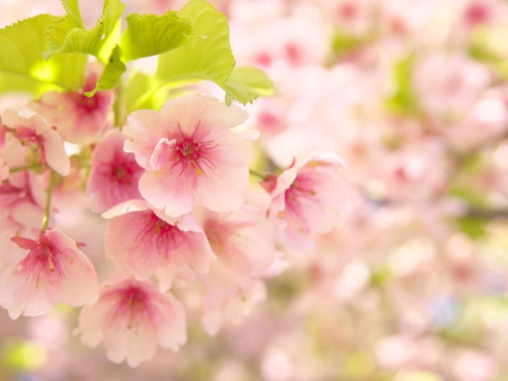 静豊園の河津桜2